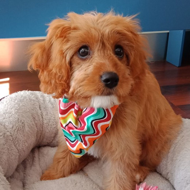 Photos Of Cavoodle Puppies Groodle Puppy And Toy Poodle Cavoodle Pups Groodle Puppies Poodle Puppy Perfect Pooches 4u
