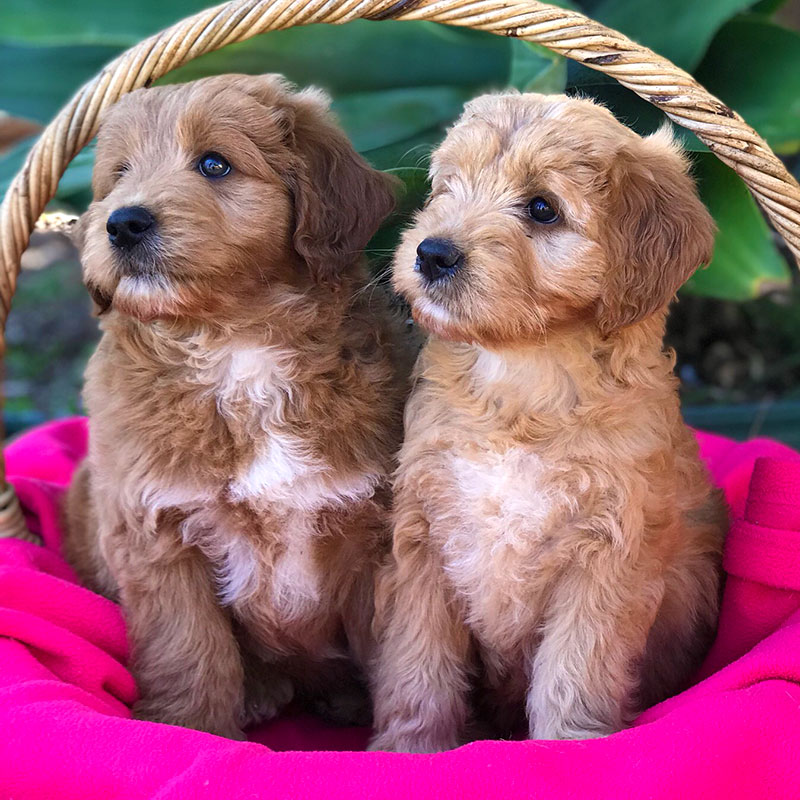 Miniature Groodle Puppies For Sale By Perfect Pooches 4u