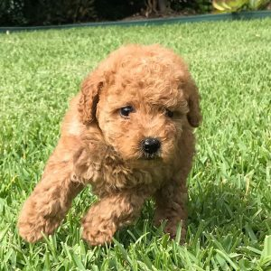 Cavoodle Pups Groodle Puppies Poodle Puppy Perfect Pooches 4u
